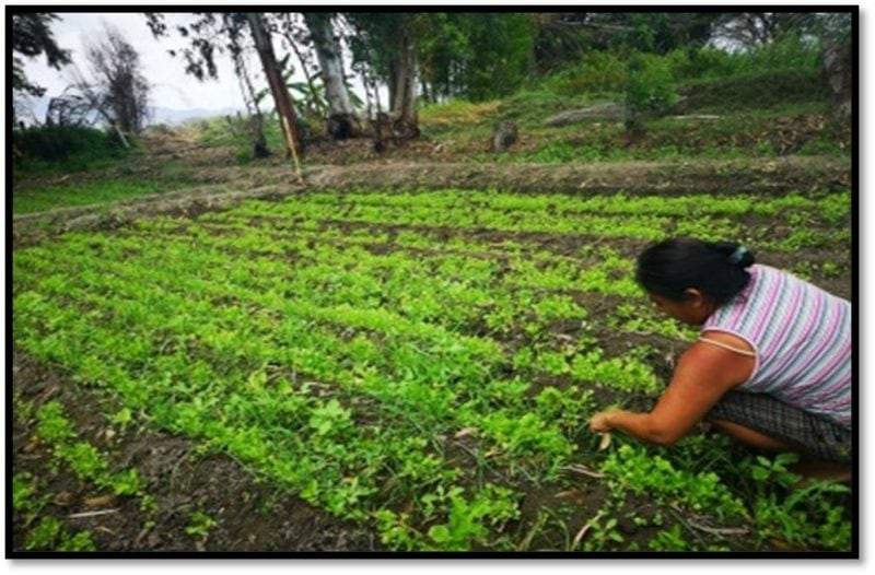 Woman weeding vegetable garden.